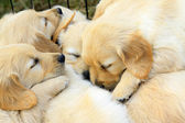 Dogs slept together — Stock Photo