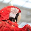 Red scarlet macaw in zoo — Stock Photo #33394967