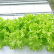 Dense planting lettuce in the field — Stock Photo