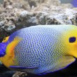 Stock Photo: Blue tang, marine coral fish