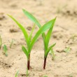 Stock Photo: Maize seedlings in field