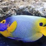 ������, ������: Blue tang marine coral fish