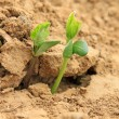 Leguminous botany seedling in the field — Stock Photo