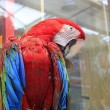 Red scarlet macaw in zoo — Stock Photo #35024703