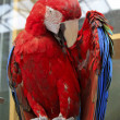 Red scarlet macaw in a zoo — Stock Photo