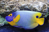 Blue tang, marine coral fish — Stock Photo