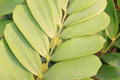 A cardboard palm frond, scientific name zamia furfuracea — Stock Photo