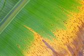 Colorful fresh banana leaf texture — Stock Photo