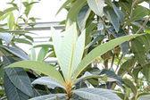 Loquat leaves — Stock Photo