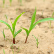Maize seedlings in the field — Stock Photo