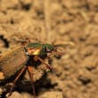 Stock Photo: Ground beetle