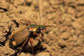 Ground beetle — Zdjęcie stockowe