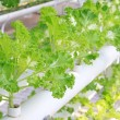 Постер, плакат: Soilless cultivation of green vegetables