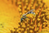 Bee insects  — Stock Photo