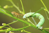 Stinkbug prey on inchworm larvae — Stock Photo