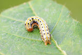 Butterfly insect larvae  — Stock Photo