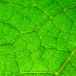 Green leaf with veins close up — Stock Photo