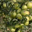 Green apples on a branch — Stockfoto