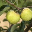 Two golden apples on a branch — Stock Photo