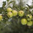 Green apples on a branch — Stok fotoğraf