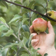 Picking an apple — Stockfoto