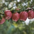 Foto Stock: Line of apples