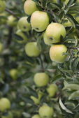 Abundance of apples — Stock Photo