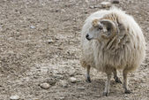 A ram looking for its sheep — Stock Photo