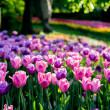 Glade of purple tulips — Stock Photo