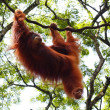 Orangutan hanging on liana — Stock Photo