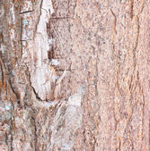 Bark of old tree texture — Stock Photo
