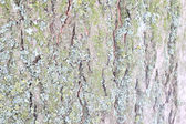 Bark of old tree texture — Stock Photo