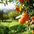 Orange tree — Stock Photo #27257543