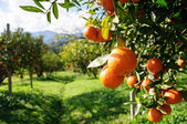 Orange tree — Foto de Stock
