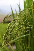 Green terraced rice field — Stock Photo