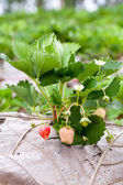 Strawberry bush growing in the garden — Stockfoto