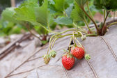 Strawberry bush growing in the garden — Photo