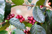 Coffee beans ripening on tree in North of thailand — Zdjęcie stockowe