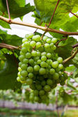 Fresh Green grapes — Stock fotografie