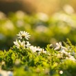Beautiful white anemones flowers with bokeh in morning — Stock Photo #48494165