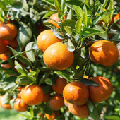 Fresh orange on plant, orange tree — Stock fotografie