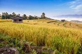 Yellow Terraced Rice Field in Chiangmai, Thailand — Stock Photo