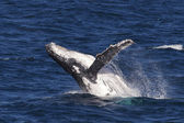 Humpback Whale Breaching in Ocean — Stock Photo