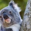 Koala Close Up of Head — Stock Photo