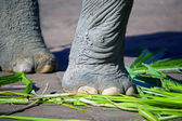 Elephant Foot Closeup — Stock Photo