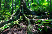 Ancient Rainforest Tree In Daintree Forest — Stock Photo