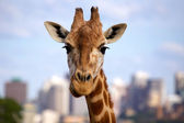 Giraffe Head — Stock Photo