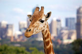 Giraffe Head Closeup — Stock Photo