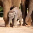Baby Elephant Walking — Stock Photo
