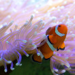 Stock Photo: Tropical Clown Fish Hiding In Anemone Great Barrier Reef